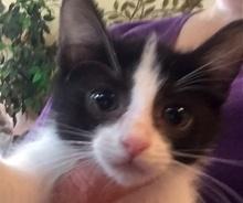 [picture of Tucker, a Domestic Short Hair black/white tuxedo\ cat]