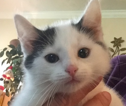 [picture of Luna, a Turkish Van Mix whitw/black\ cat]