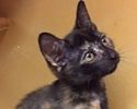 A picture of #ET01765: Mocha a Domestic Short Hair tortie
