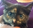 A picture of #ET01766: Java a Domestic Short Hair tortie orange spot face