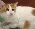 A picture of #ET01767: Gusgus a Turkish Van Mix orange/white
