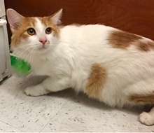[another picture of Gusgus, a Turkish Van Mix orange/white\ cat]