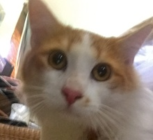 [picture of Gusgus, a Turkish Van Mix orange/white\ cat]