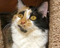 A picture of #ET01768: Dori a Domestic Medium Hair calco