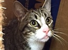 A picture of #ET01769: Hobbs a Domestic Short Hair gray/blk tabby w/white