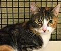 A picture of #ET01770: Niji a Domestic Short Hair calico