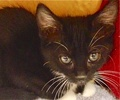 A picture of #ET01772: Charlotte a Domestic Short Hair black/white tuxedo