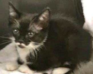 [picture of Biloxi, a Domestic Short Hair black/white tuxedo\ cat]