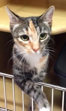[picture of Almirah, a Domestic Medium Hair torbico cat]