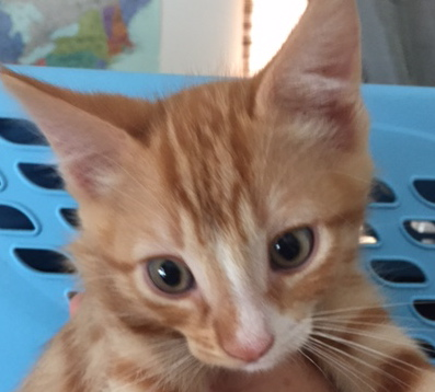 [picture of Doodle, a Domestic Short Hair orange/white\ cat]