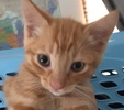 A picture of #ET01776: Noodle a Domestic Short Hair orange