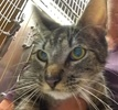 A picture of #ET01779: Melba a Domestic Short Hair gray tabby/white