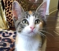 A picture of #ET01781: Tigger a Domestic Short Hair tiger calico