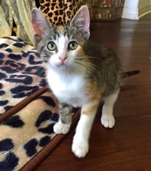 [another picture of Tigger, a Domestic Short Hair tiger calico\ cat]