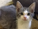 A picture of #ET01783: Blue a Domestic Short Hair silver/white