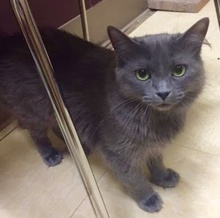 [another picture of Feefee, a Russian Blue Mix Blue\ cat]