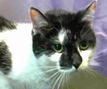 A picture of #ET01785: Mali a Domestic Medium Hair black/white cow