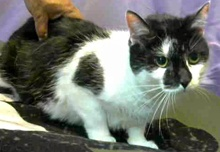 [another picture of Mali, a Domestic Medium Hair black/white cow\ cat]
