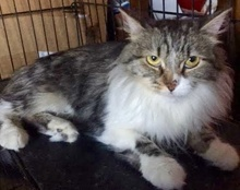 [picture of Laci, a Ragdoll Mix gray tabby/white cat]