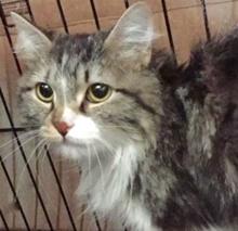 [picture of Laci, a Ragdoll Mix gray/blck/white cat]