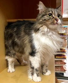 [picture of Laci, a Ragdoll Mix gray tabby/white\ cat]