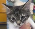 A picture of #ET01788: Aramis a Ragdoll Mix black tabby/white