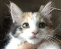 A picture of #ET01790: Babette a Ragdoll Mix calico
