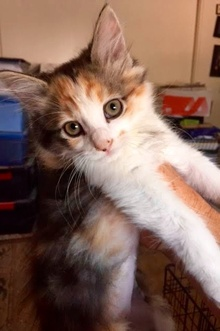 [another picture of Babette, a Ragdoll Mix calico\ cat]