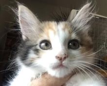[picture of Babette, a Ragdoll Mix calico\ cat]