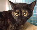 A picture of #ET01791: Yadira a Domestic Short Hair tortie