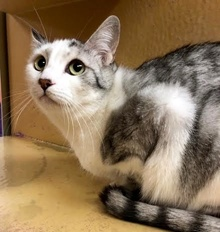 [another picture of Alisha, a Domestic Short Hair silver tabby/white\ cat]