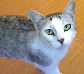 [picture of Alisha, a Domestic Short Hair silver tabby/white\ cat]