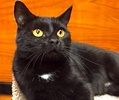 A picture of #ET01795: Canasta a Domestic Short Hair black