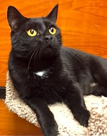 [another picture of Canasta, a Domestic Short Hair black\ cat]