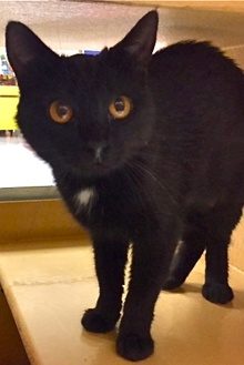 [picture of Canasta, a Domestic Short Hair black cat]