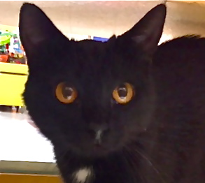 [picture of Canasta, a Domestic Short Hair black\ cat]
