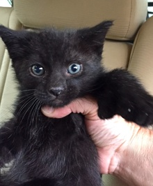 [another picture of Ace, a Hemmingway Polydactl black\ cat]