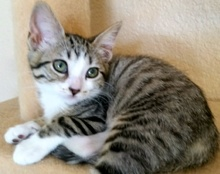 [another picture of Dillet, a Domestic Short Hair gray tabby/white\ cat]