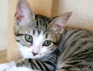 [picture of Dillet, a Domestic Short Hair gray tabby/white\ cat]