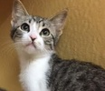 A picture of #ET01799: Dandelion a Domestic Short Hair gray tabby /white