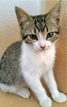 [picture of Dandelion, a Domestic Short Hair gray tabby /white cat]