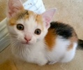 A picture of #ET01800: Little Daisy a Domestic Short Hair calico
