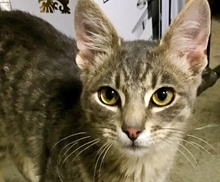 [picture of Newman, a Domestic Short Hair silver\ cat]