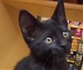 A picture of #ET01803: Raleigh a Domestic Short Hair black