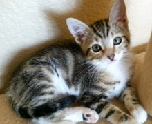 [picture of Peanut, a Domestic Medium Hair brown tabby/white cat]