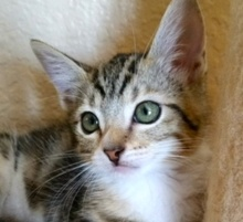 [picture of Peanut, a Domestic Medium Hair brown tabby/white\ cat]