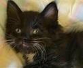 [picture of Fenio, a Ragdoll Mix black/white tuxedo cat]