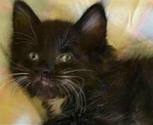 [picture of Fenio, a Ragdoll Mix black/white tuxedo\ cat]