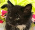 A picture of #ET01808: Fenola a Ragdoll Mix black/white tuxedo
