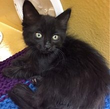 [another picture of Cubby, a Ragdoll Mix black\ cat]